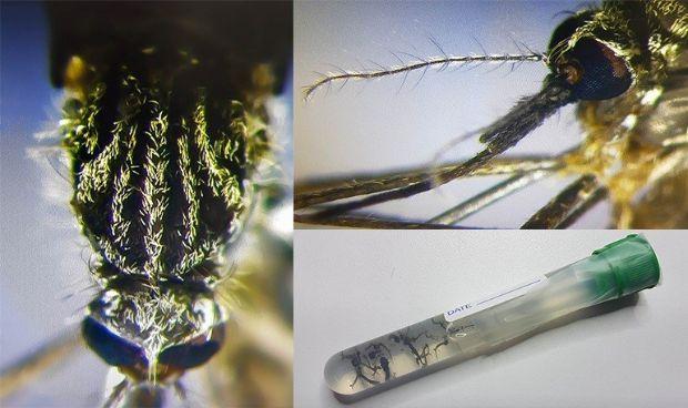 Así es el mosquito que puede generar infecciones por dengue en España