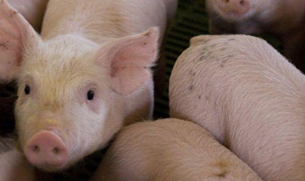 Cerdos criados específicamente para usar sus órganos en trasplantes humanos