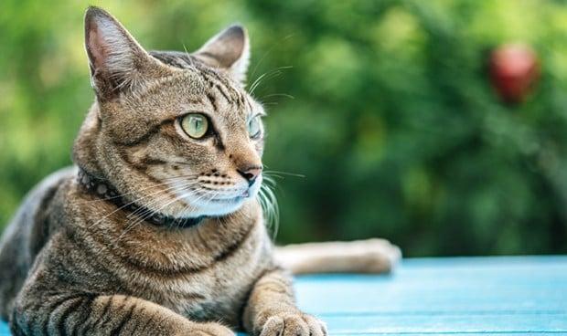 Los gatos generan anticuerpos que impiden la reinfección de Covid-19