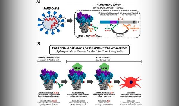 Coronavirus: su mecanismo de activación revela nuevas opciones para vacunas