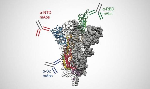 Covid: el sistema inmunológico cubre la proteína de pico con anticuerpos