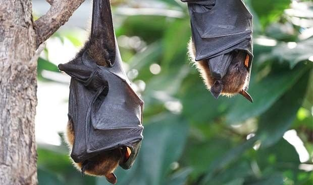 Covid: descubren cuatro nuevos coronavirus en murciélagos en China