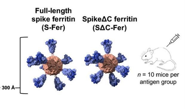 Covid: una vacuna de nanopartículas muestra eficacia con una sola dosis