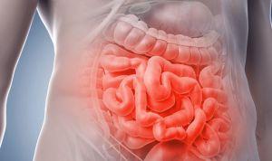 Crean segmentos funcionales de intestino delgado con bioingeniería