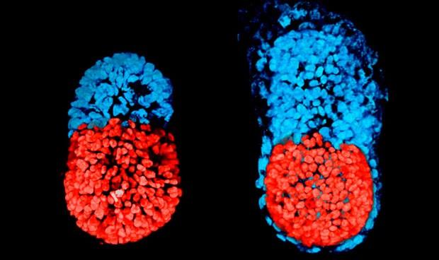 Crean un principio de embrión artificial con células madre