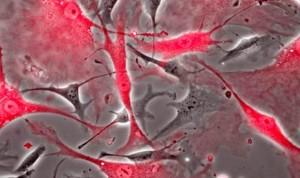 El CSIC describe dónde se encuentran las células madre en el corazón