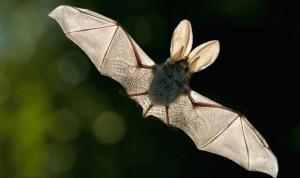 El origen de la leucemia está en la sangre del murciélago