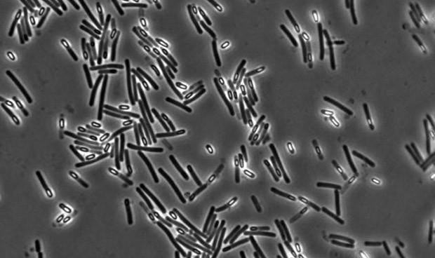 El trasplante fecal, mejor que los antibióticos en C. difficile resistente