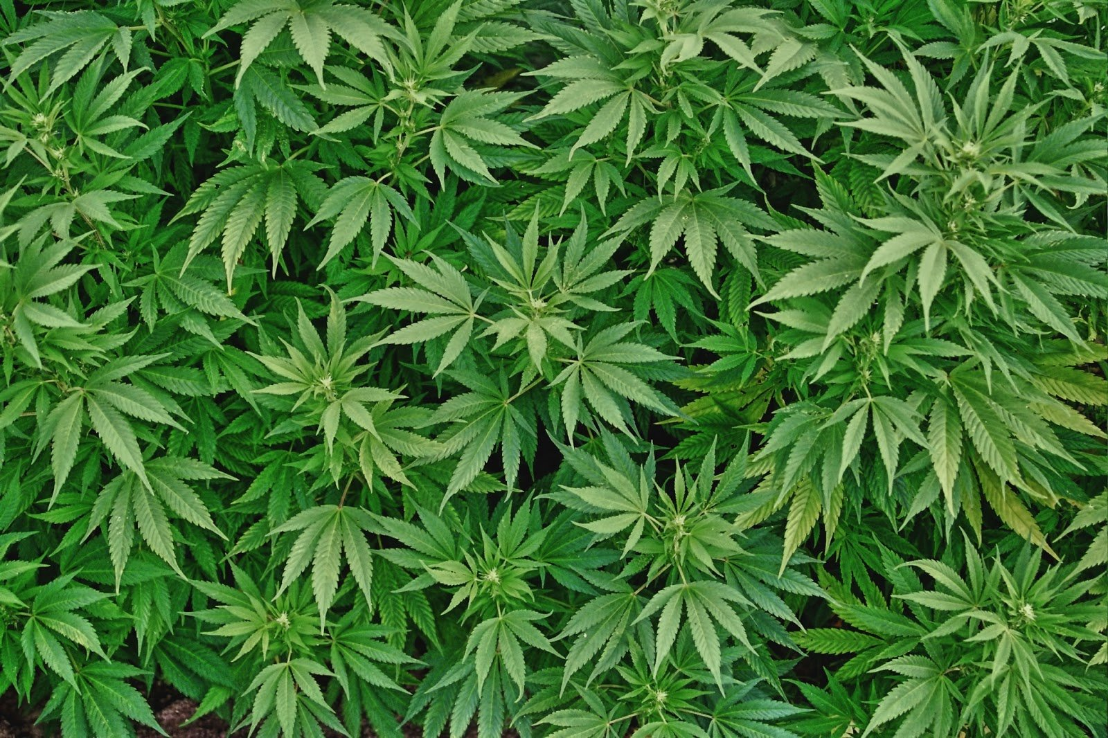 Resultado de imagen de marihuana