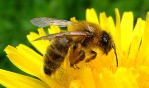 El veneno de abeja suprime la inflamación de la dermatitis atópica