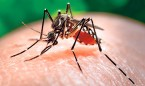 El zika migra del torrente sanguíneo a la placenta en ratones
