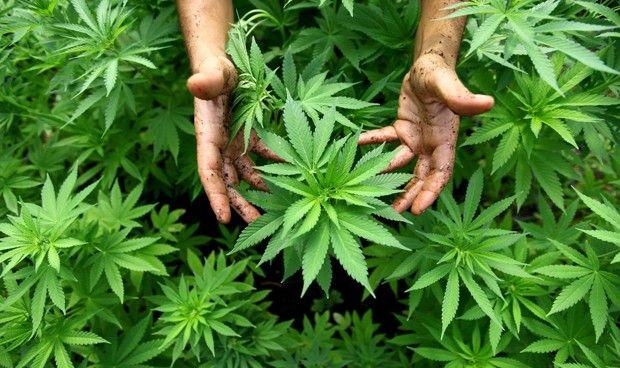 Hasta un cuarto de los pacientes con c�ncer consume marihuana