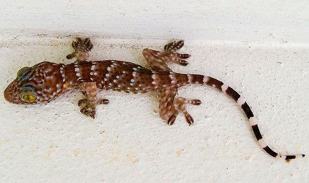 La cola de un gecko, pista para regenerar la médula espinal