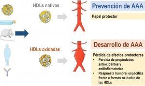 La oxidación de las lipoproteínas combate el aneurisma aórtico abdominal