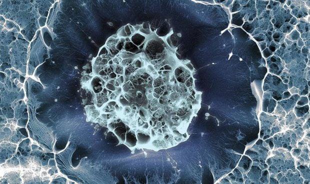Las células madre con niveles altos de telomerasa regeneran el hígado