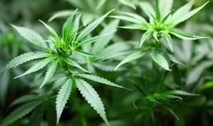 El tratamiento de la epilepsia con derivados del cannabis, real en 5 años
