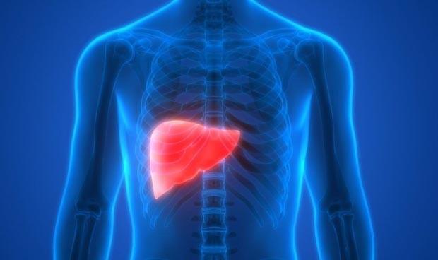 Los genes que regulan el ritmo circadiano del hígado, al descubierto