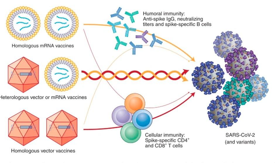 Nature avala la mezcla de vacunas Astrazeneca-Pfizer del estudio Combivacs