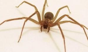 No existe ninguna plaga de 'peligrosas' arañas violinistas en España