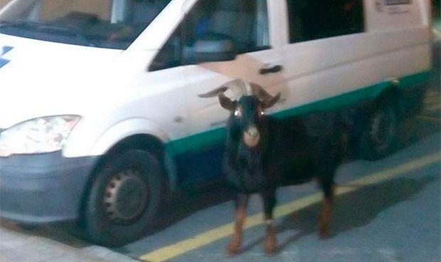 Otra cabra 'ingresa' en un hospital público español