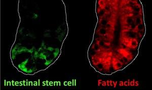 Relacionan las células intestinales que queman grasa con el cáncer de colon