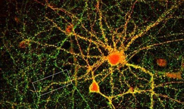 Una nueva vía celular está detrás de la formación de los recuerdos