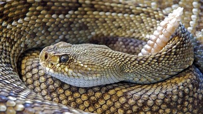 Lesiones provocadas por la mordedura de serpiente.